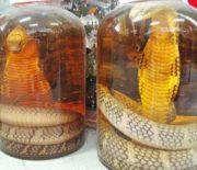 Cách ngâm rượu rắn hổ mang đúng cách